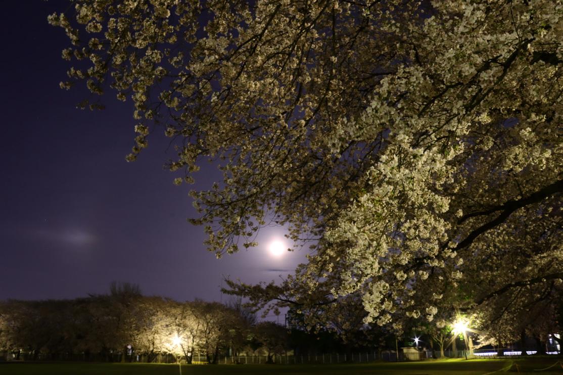 ワークムーンと夜桜_e0291438_08302118.jpg