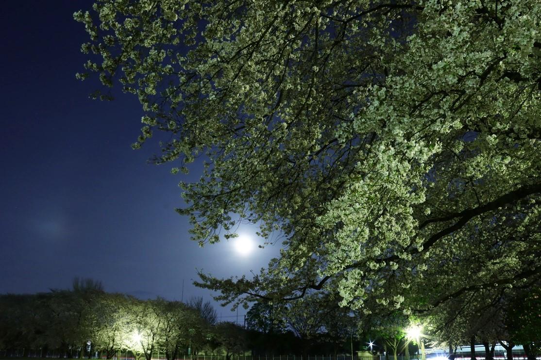 ワークムーンと夜桜_e0291438_08311718.jpg