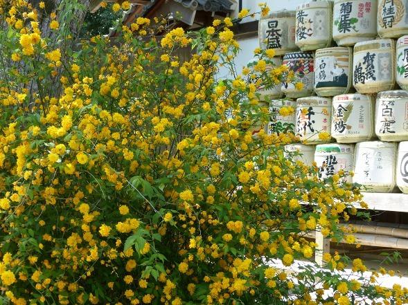 松尾大社の山吹_b0299042_11470325.jpg