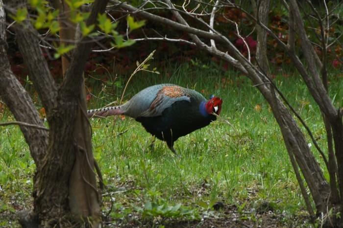 キジ:国鳥_c0233349_14260207.jpg