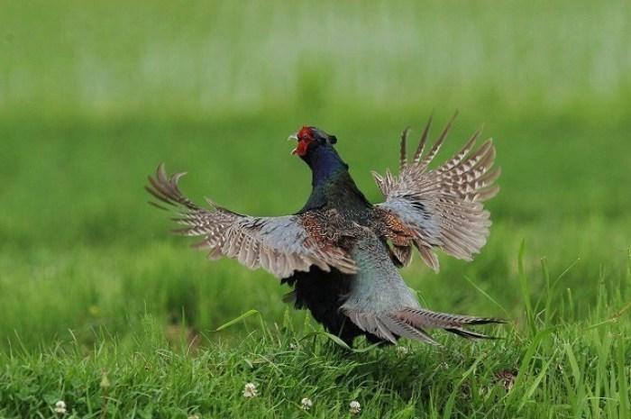 キジ:国鳥_c0233349_14275829.jpg