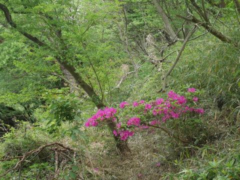 ヤマザクラ苗木5本植樹、累計650本超4・15六国見山手入れ(下)_c0014967_05455818.jpg