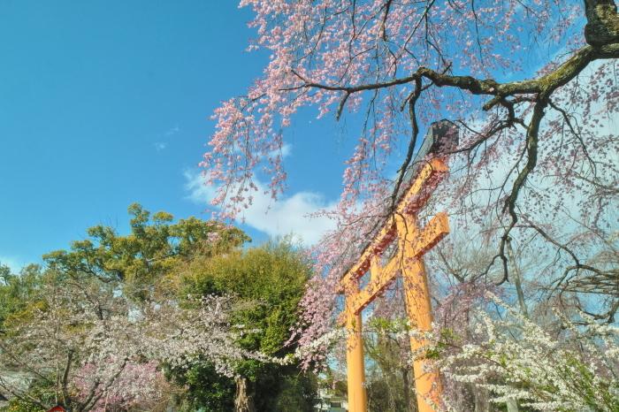京都 桜 2021_f0021869_00080385.jpg