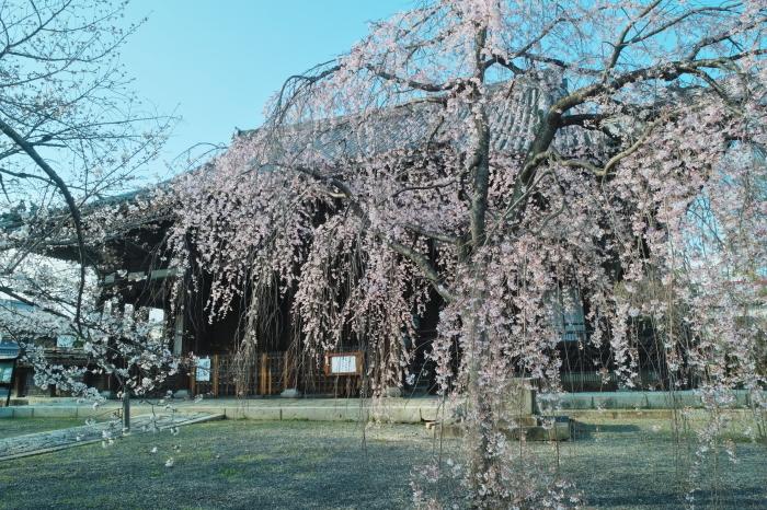 京都 桜 2021_f0021869_00080429.jpg