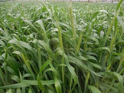 雨の小麦畑_c0332682_21402391.jpg