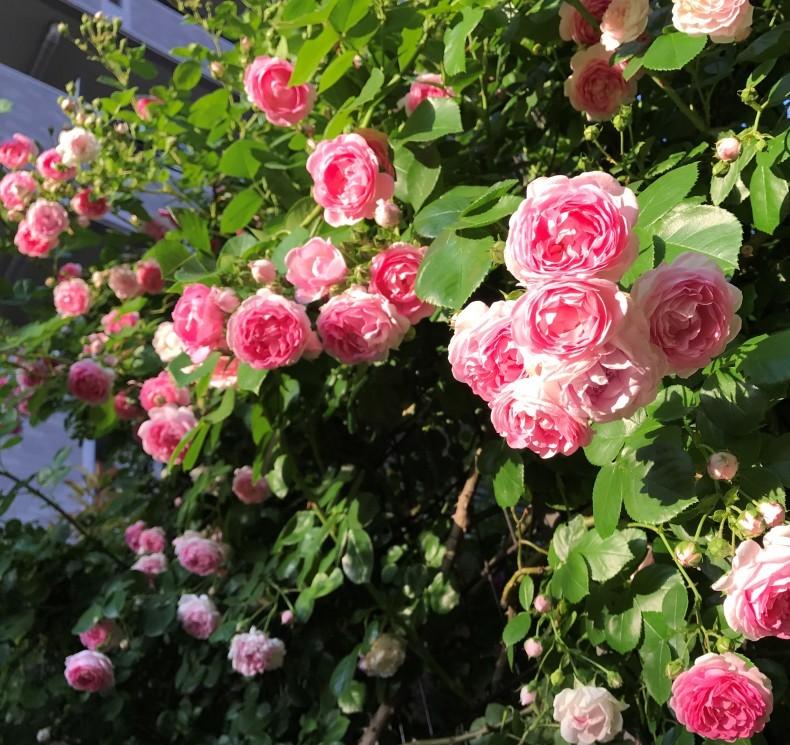 薔薇の花のお茶会*今年は5月15日(土)に決定!_d0085018_11335645.jpg