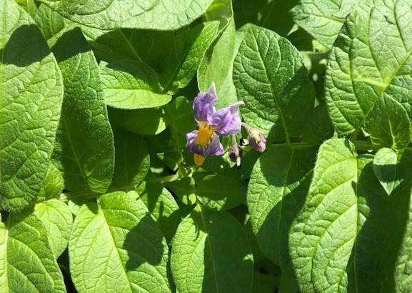 ジャガイモ開花、オクラ、バジル発芽4・18_c0014967_17075312.jpg