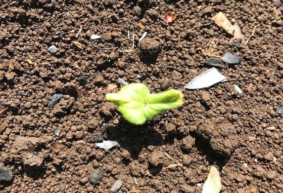 ジャガイモ開花、オクラ、バジル発芽4・18_c0014967_17111812.jpg