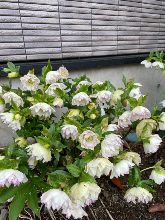 庭の花たちと4月誕生会_f0067514_10151177.jpg