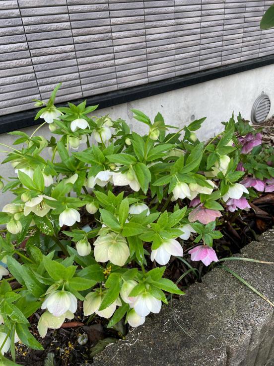 庭の花たちと4月誕生会_f0067514_10151361.jpg