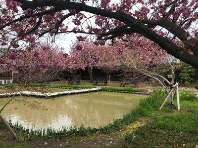 大藤棚の様子2021.4.19 & 八重桜見頃_e0135219_12130019.jpg