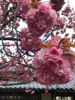大藤棚の様子2021.4.19 & 八重桜見頃_e0135219_12130233.jpg