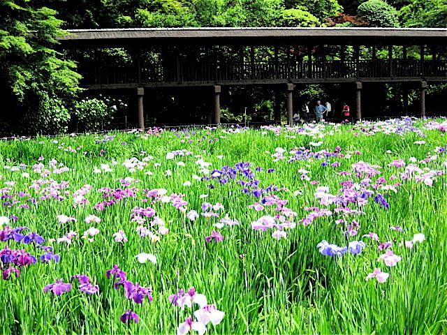 紫陽花と菖蒲。──「長谷山 本土寺」@北小金 - Welcome to Koro's Garden!