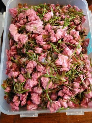 桜湯を作る_a0173527_11224571.jpg