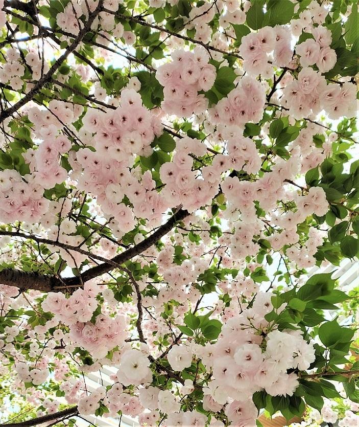 一葉桜_c0157242_11015113.jpg