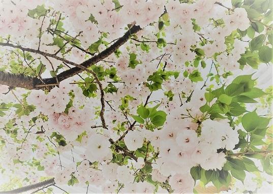 一葉桜_c0157242_11025192.jpg