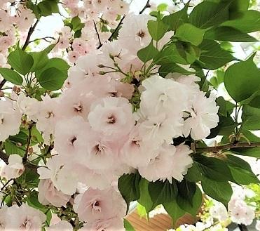 一葉桜_c0157242_11095239.jpg