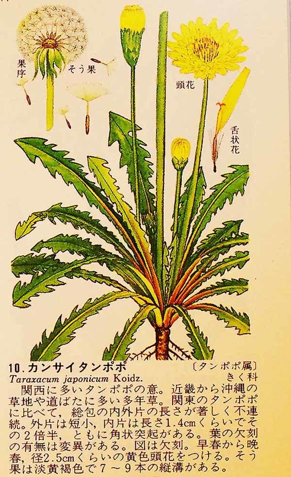 タンポポの日本在来種            No.2093_d0103457_23211644.jpg