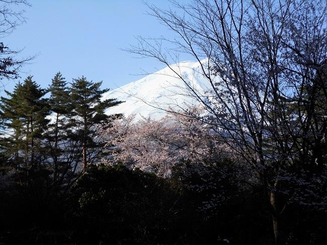 富士桜の開花_d0153860_05493143.jpg