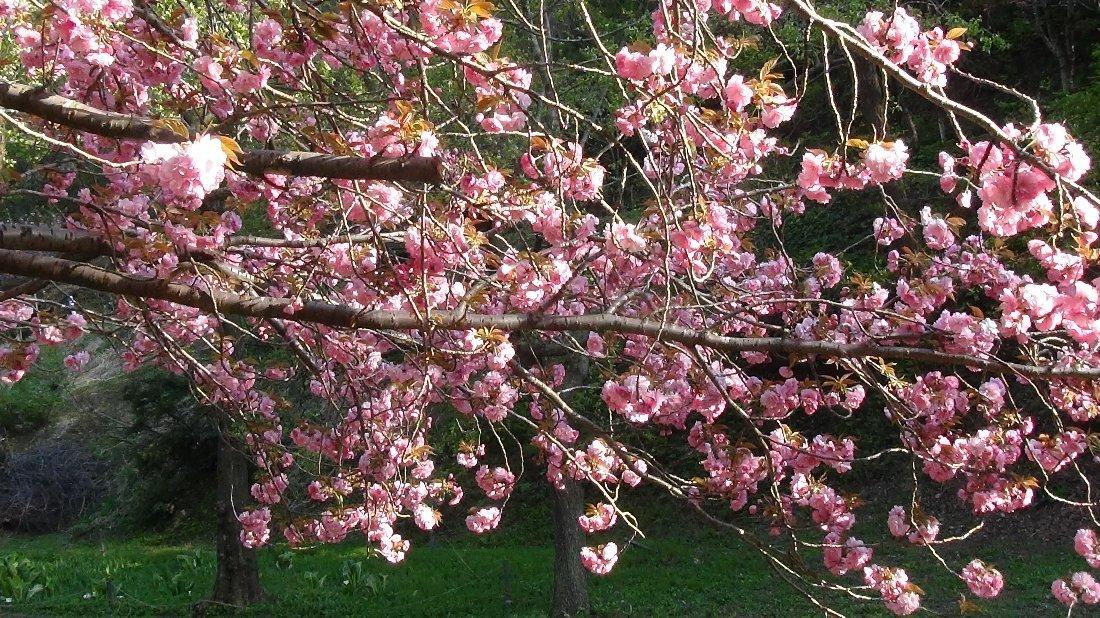 五智公園の八重桜!_e0065084_20303520.jpg