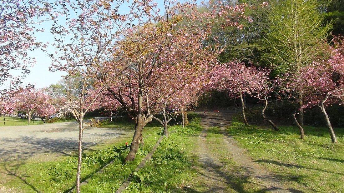 五智公園の八重桜!_e0065084_20304353.jpg