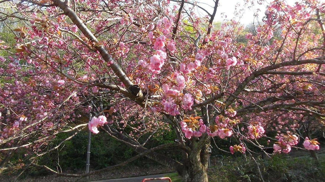 五智公園の八重桜!_e0065084_20304655.jpg