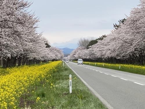 11kmの大潟村の桜・菜の花ロード_e0054299_00551801.jpeg
