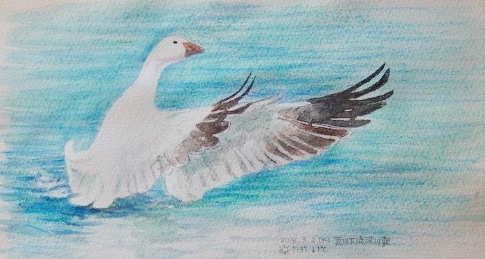 #ネイチャー・スケッチ #Naturejournal #sketch #Watercolor #水彩画 #野鳥_a0083553_13054737.jpg
