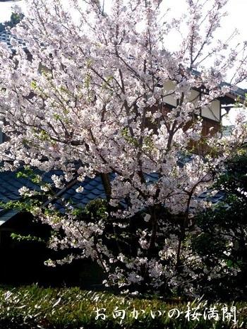 タンポポの日本在来種            No.2093_d0103457_01182621.jpg