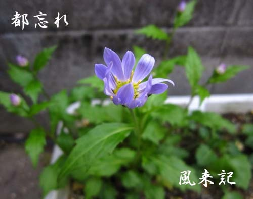 タンポポの日本在来種            No.2093_d0103457_10185863.jpg