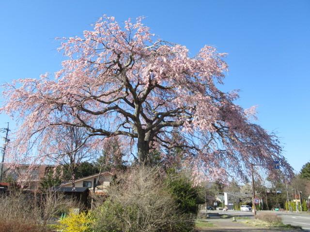 軽井沢の桜・2021 * プリンス通りの紅枝垂れ桜が満開 ~ 矢ヶ崎公園はもう少し♪_f0236260_21455023.jpg