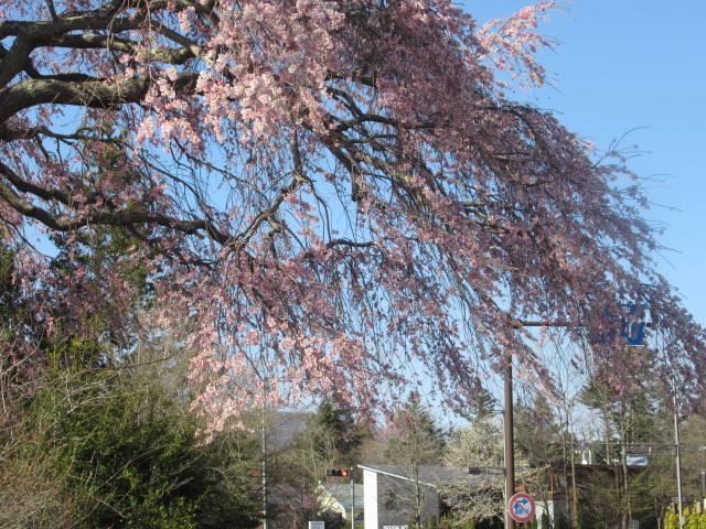 軽井沢の桜・2021 * プリンス通りの紅枝垂れ桜が満開 ~ 矢ヶ崎公園はもう少し♪_f0236260_21461204.jpg
