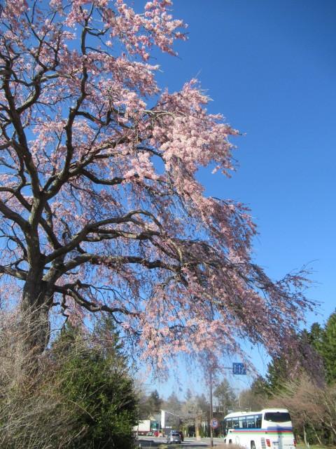 軽井沢の桜・2021 * プリンス通りの紅枝垂れ桜が満開 ~ 矢ヶ崎公園はもう少し♪_f0236260_21464305.jpg