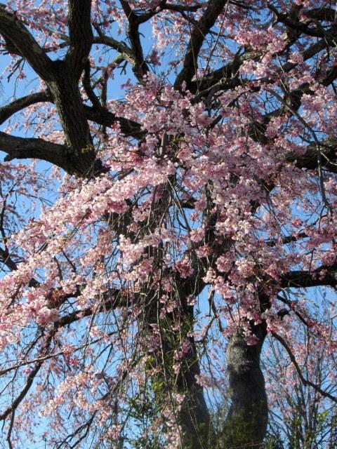 軽井沢の桜・2021 * プリンス通りの紅枝垂れ桜が満開 ~ 矢ヶ崎公園はもう少し♪_f0236260_21470983.jpg