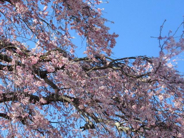 軽井沢の桜・2021 * プリンス通りの紅枝垂れ桜が満開 ~ 矢ヶ崎公園はもう少し♪_f0236260_21473322.jpg