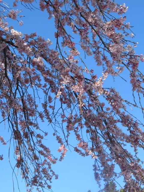 軽井沢の桜・2021 * プリンス通りの紅枝垂れ桜が満開 ~ 矢ヶ崎公園はもう少し♪_f0236260_21480327.jpg