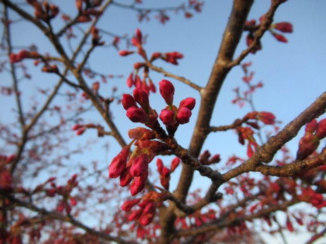 軽井沢の桜・2021 * プリンス通りの紅枝垂れ桜が満開 ~ 矢ヶ崎公園はもう少し♪_f0236260_22002870.jpg