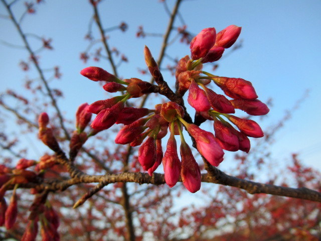 軽井沢の桜・2021 * プリンス通りの紅枝垂れ桜が満開 ~ 矢ヶ崎公園はもう少し♪_f0236260_22005283.jpg