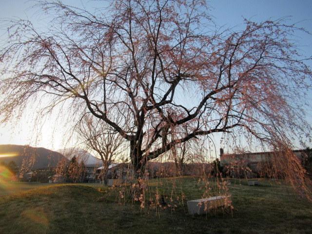 軽井沢の桜・2021 * プリンス通りの紅枝垂れ桜が満開 ~ 矢ヶ崎公園はもう少し♪_f0236260_22013450.jpg