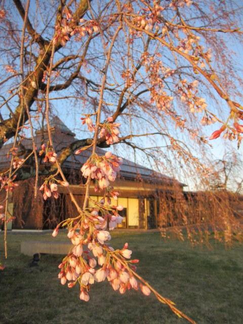 軽井沢の桜・2021 * プリンス通りの紅枝垂れ桜が満開 ~ 矢ヶ崎公園はもう少し♪_f0236260_22023929.jpg