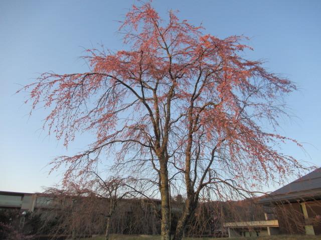 軽井沢の桜・2021 * プリンス通りの紅枝垂れ桜が満開 ~ 矢ヶ崎公園はもう少し♪_f0236260_22035914.jpg