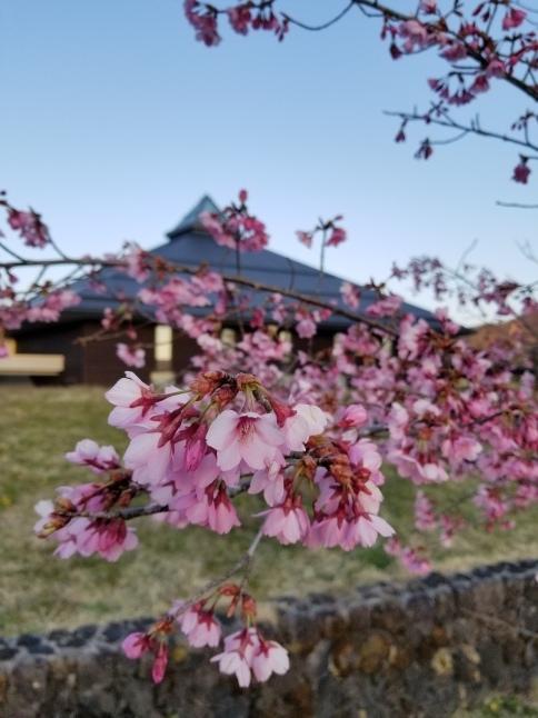 軽井沢の桜・2021 * プリンス通りの紅枝垂れ桜が満開 ~ 矢ヶ崎公園はもう少し♪_f0236260_22112797.jpg