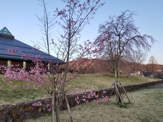 軽井沢の桜・2021 * プリンス通りの紅枝垂れ桜が満開 ~ 矢ヶ崎公園はもう少し♪_f0236260_22114610.jpg