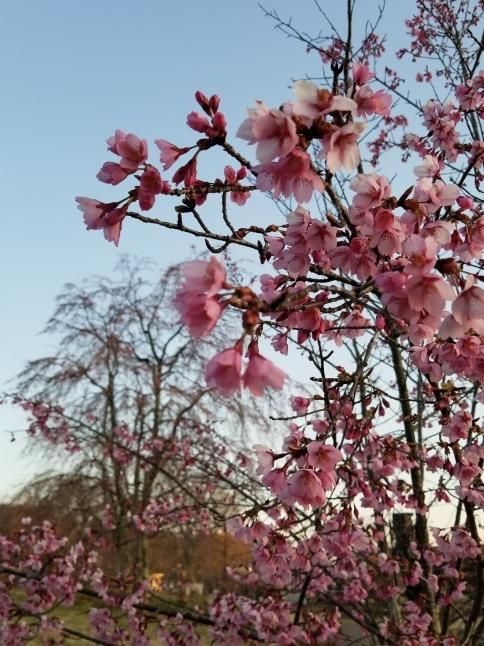 軽井沢の桜・2021 * プリンス通りの紅枝垂れ桜が満開 ~ 矢ヶ崎公園はもう少し♪_f0236260_22120974.jpg