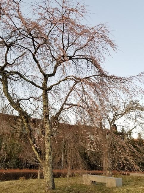 軽井沢の桜・2021 * プリンス通りの紅枝垂れ桜が満開 ~ 矢ヶ崎公園はもう少し♪_f0236260_22123211.jpg