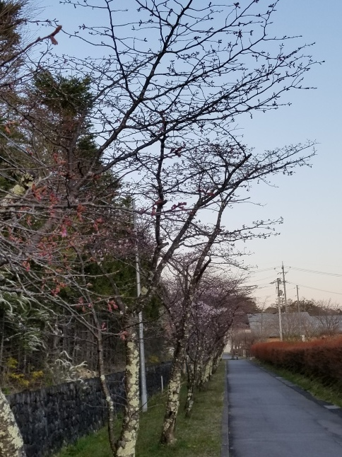 軽井沢の桜・2021 * プリンス通りの紅枝垂れ桜が満開 ~ 矢ヶ崎公園はもう少し♪_f0236260_22345225.jpg