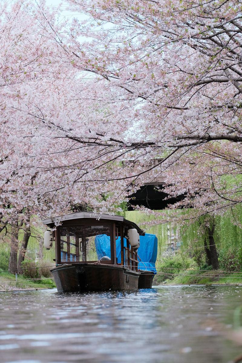京都 桜 2021_f0021869_22091432.jpg