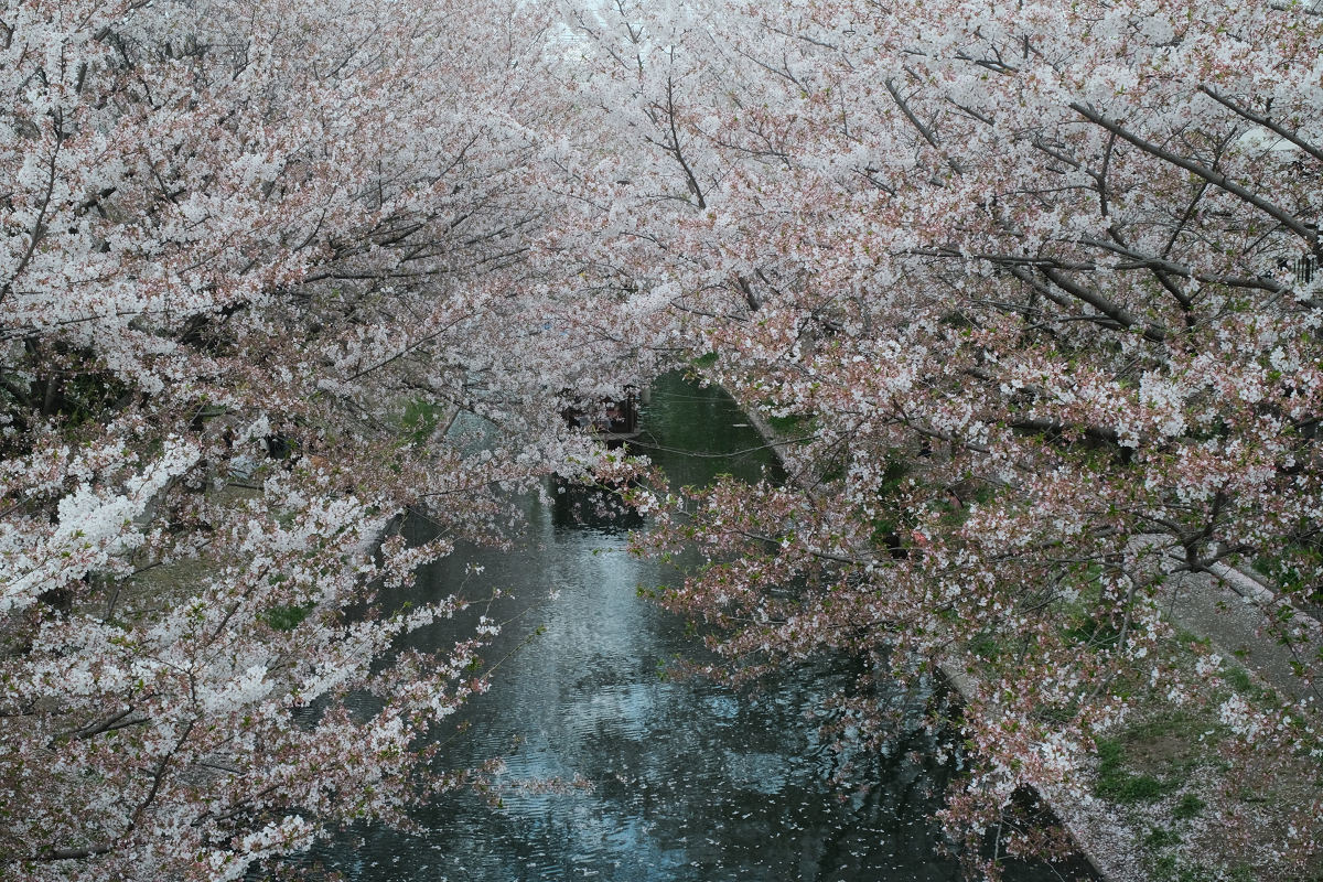 京都 桜 2021_f0021869_22112268.jpg
