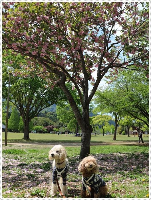 久しぶりの全員集合!!楽しいお散歩できました(v´∀'*) イエーイ♪_b0175688_23044177.jpg