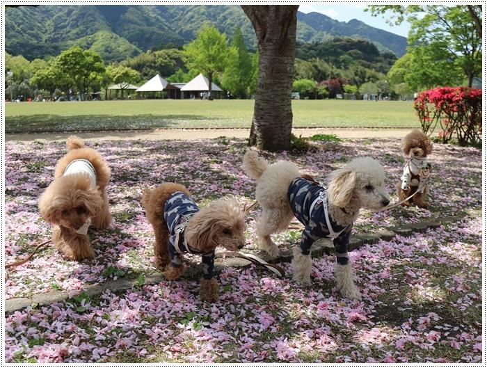 久しぶりの全員集合!!楽しいお散歩できました(v´∀'*) イエーイ♪_b0175688_23064002.jpg